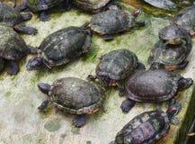 Lots of tortoises Royalty Free Stock Image