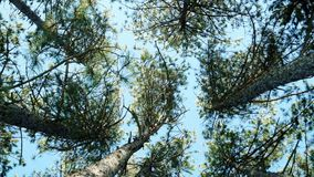 Lots of trees pine trees, spruce against the blue sky, forest, tops of the trees in the forest, spring park, stock footage