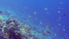 Lots of tropical fish swimming around a coral reef stock video footage