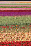 Lots of tulips. Tulips in all different colors and layers on a field Royalty Free Stock Images