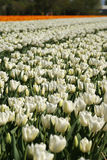 Lots of tulips. White tulips with orange ones in the back Royalty Free Stock Image