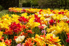 Lots of tulips in different colors in a botanical garden Royalty Free Stock Photos