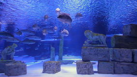 Lots of tuna fish. Big amount of tunafish is swimming in decorated aquarium with lion statues stock video