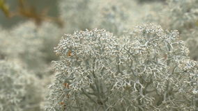 Lots of white cup lichen or Brodo on display GH4 4K UHD Royalty Free Stock Photo