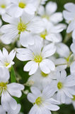 Lots of white flowers Royalty Free Stock Photos