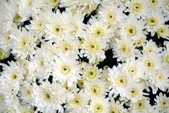 Lots of white flowers and petals, natural background, garden beauty Stock Photography