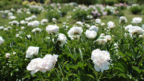 Lots of white peony bushes Stock Image