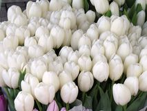 Lots of white tulips at a market Stock Images