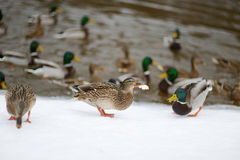 Lots of wild ducks by a river Royalty Free Stock Photography