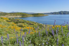 Lots of wild flower blossom at Diamond Valley Lake Royalty Free Stock Images