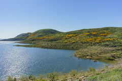 Lots of wild flower blossom at Diamond Valley Lake Royalty Free Stock Photography