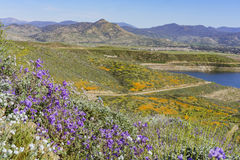 Lots of wild flower blossom at Diamond Valley Lake Royalty Free Stock Image