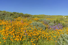 Lots of wild flower blossom at Diamond Valley Lake Stock Image