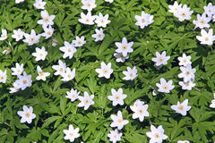 Lots of Windflowers Royalty Free Stock Photos