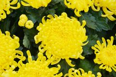 Lots of yellow flowers and petals, natural background, garden beauty Stock Images