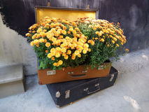 Lots of yellow flowers in an vintage suitcase Stock Image