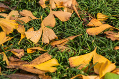 Lots of yellow Ginkgo leaves on green grasses. 3 Stock Images