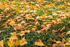 Lots of yellow Ginkgo leaves on green grasses. 2 Stock Photo