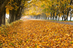 Lots of yellow leaves along the road Stock Photos