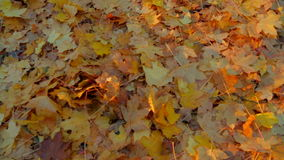 Lots of Yellow Leaves On The Ground In Autumn stock video