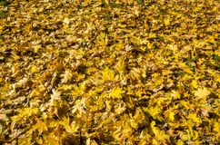Yellow maple leaves for background stock images