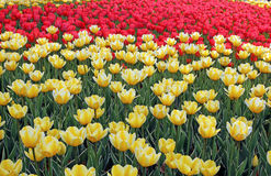 Lots of yellow tulips on the flowerbed Royalty Free Stock Photo