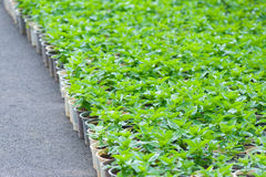 Lots of young flower plants in pots Royalty Free Stock Photo