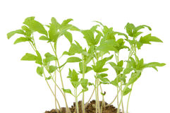 Lots of young saplings Royalty Free Stock Photo