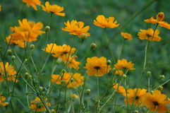 Lotsa Marigolds Royalty Free Stock Photos