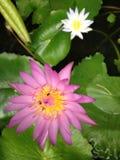 Lotsu. Lotus and bees Royalty Free Stock Photos