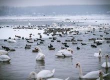 Lott av härliga fåglar i den djupfrysta floden Royaltyfria Bilder