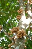 Lott av Longkong på trädet - thailändsk frukt Arkivbilder