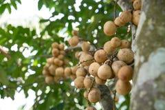 Lott av Longkong på trädet - thailändsk frukt Royaltyfri Foto