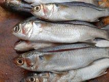 Lott av nya fiskar Royaltyfri Bild