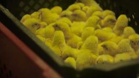 Lott av små fågelungar i feg lantgård lager videofilmer