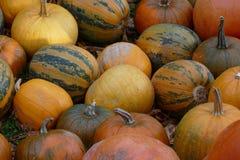 Lott av trevliga färgrika halloween pumpor Arkivbild