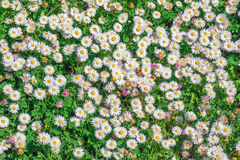 Lott av tusenskönor i trädgård fotografering för bildbyråer