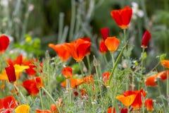 Lott av vallmo som växer i området i botaniska trädgården dagminne Fotografering för Bildbyråer