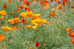 Lott av vallmo som växer i området i botaniska trädgården dagminne Royaltyfri Fotografi