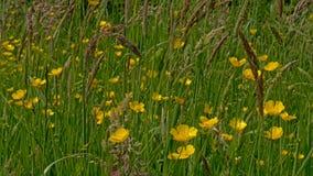 Lott` s av smörblommor och hihggräs i en äng - Ranunculus arkivfoton