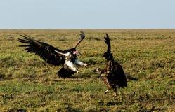 lotta dalla faccia mussolina dell'avvoltoio fotografie stock
