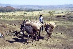 Lotta degli agricoltori da sopravvivere a in tempo della siccità Immagine Stock
