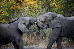Lotta degli elefanti Fotografia Stock