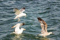 Lotta degli uccelli per alimento immagine stock libera da diritti