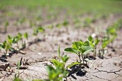 Lotta dei germogli di fagiolo nella siccità Fotografia Stock Libera da Diritti