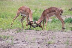 Lotta dell'impala di due maschi dentro per il gregge con il migliore territorio Immagini Stock