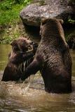 Lotta dell'orso Fotografia Stock Libera da Diritti