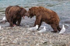 Lotta dell'orso Immagini Stock