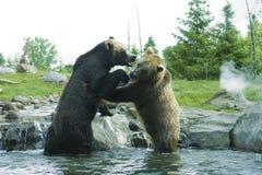 Lotta dell'orso dell'orso grigio (Brown) fotografie stock
