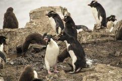 LOTTA DELLA FAMIGLIA DEI PINGUINI Fotografia Stock Libera da Diritti